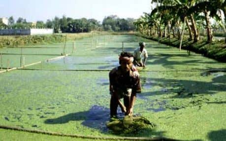 , A GRICULTURAL AND I NDUSTRIAL W ASTEWATER T REATMENT Photograph 10: Manually harvested sewage-grown duckweed