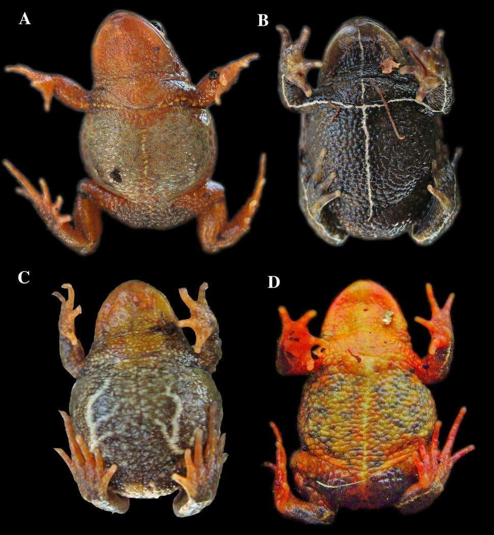 FIGURE 4. Ventral views showing different color patterns and skin texture of Bryophryne bakersfield .