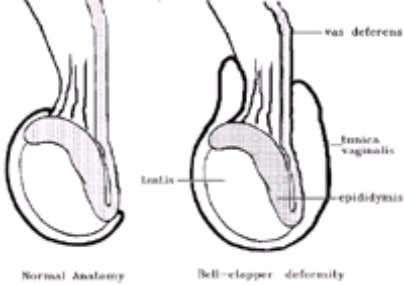 left counterclockwise as observed from the foot of the bed. FIG. 4-2. Normal testicular anatomy (