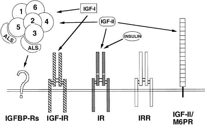 C.T. Roberts Jr / Cancer Letters 195 (2003) 127–137 Fig. 1. The IGF system. Shown are