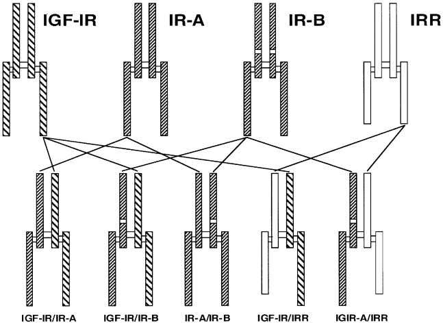 C.T. Roberts Jr / Cancer Letters 195 (2003) 127–137 Fig. 2. Hybrid receptors involved in IGF