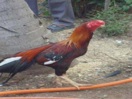  In the male fowl the tail feathers are sickle shaped.  In case of ducks