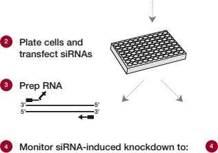 t 2 Plate cells and transfect siRNAs 3 Prep RNA 3' 5' 5' 3' 4