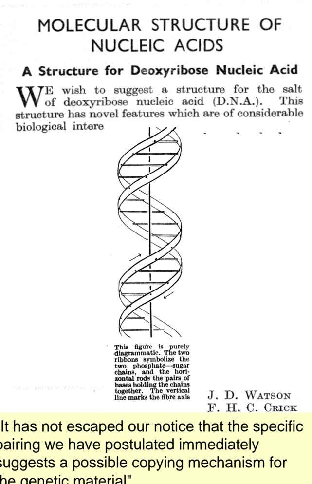 "3.1 Konstitution von DNA Nature 1953, 171 , 346 ""It has not escaped our notice that"