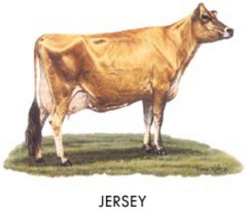 Jersey • Origin: Isle of Jersey • Color: usually a shade of fawn with or without