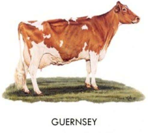 Guernsey • Origin: Isle of Guernsey • Color: Shade of fawn with white markings clearly defined;