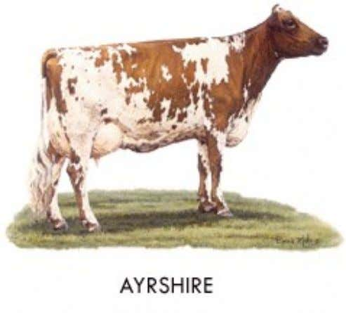Ayrshire • Origin: Scotland • Color: Light to deep cherry red, mahogany, brown or a combination