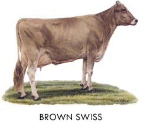 Brown Swiss • Origin: Switzerland • Color: Solid brown varying from very light to dark; muzzle