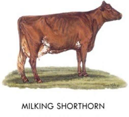 Milking Shorthorn • Origin: England • Color: Either red, red and white or roan • Head: