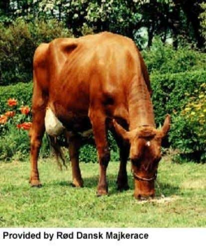 Minor Dairy Breed • Danish Red • Origin: Islands off the coast of Denmark • Mature