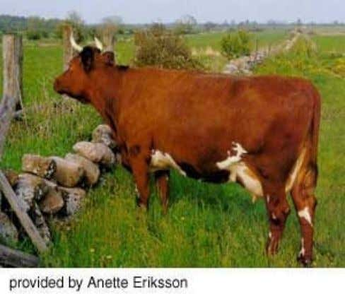 Minor Dairy Breed • The Swedish Red-and- White is the most common dairy breed found in