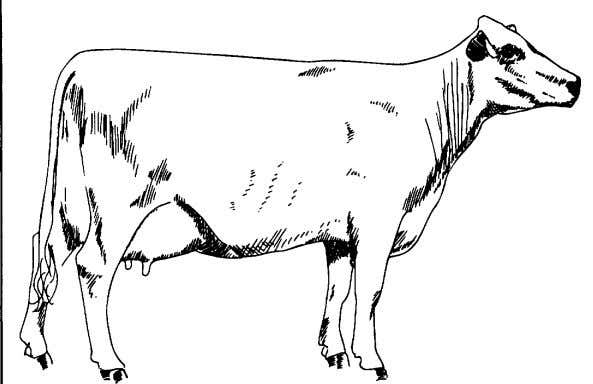 "Dairy Cattle Judging ""Use What you have learned""  Which animal would be considered desirable? "