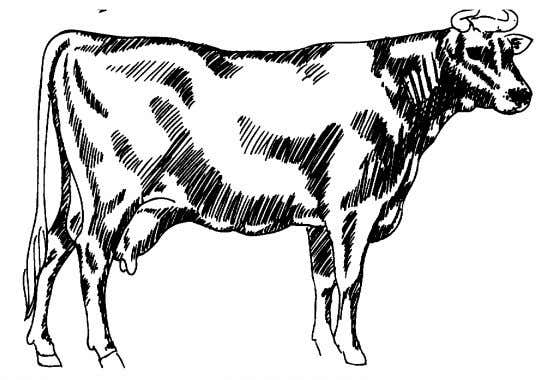 "Dairy Cattle Judging ""Use What you have learned""  Which animal would be considered desirable? "