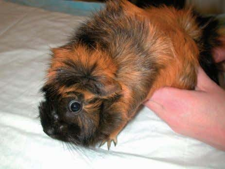 guinea pig breeds: Teddy (left) and American (right). Figure 17-2 Abyssinian guinea pig. move about unencumbered