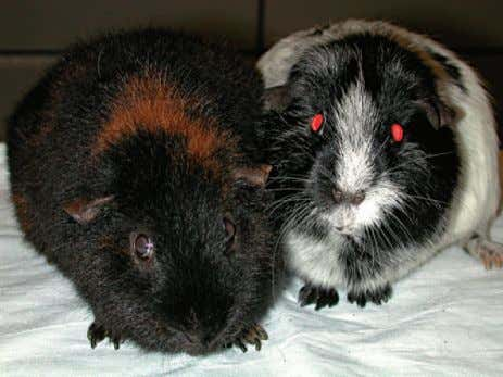 Chapter 17 Guinea Pigs 457 Figure 17-1 Two common guinea pig breeds: Teddy (left) and American