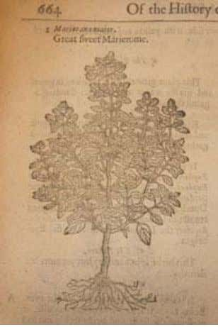 "and heal their wounds"" (45). Religious References and Myth Illustration of sweet marjoram from Gerard's The"