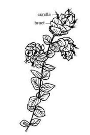 can be erect or trailing/cascading (104). Trailing types O. rotundifolium with prominent hop-like bracts like the