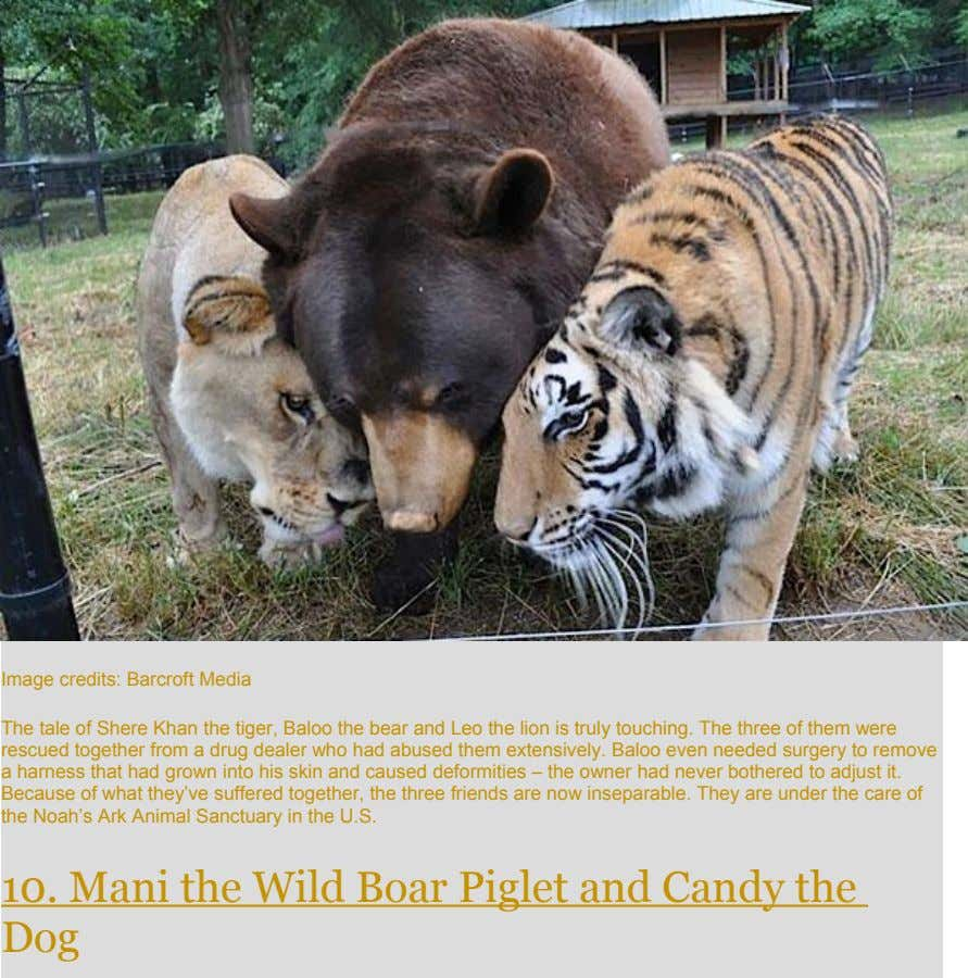 Image credits: Barcroft Media The tale of Shere Khan the tiger, Baloo the bear and Leo