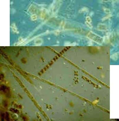Phytoplankton (single cell plants) – are the base of the aquatic food web and provide most