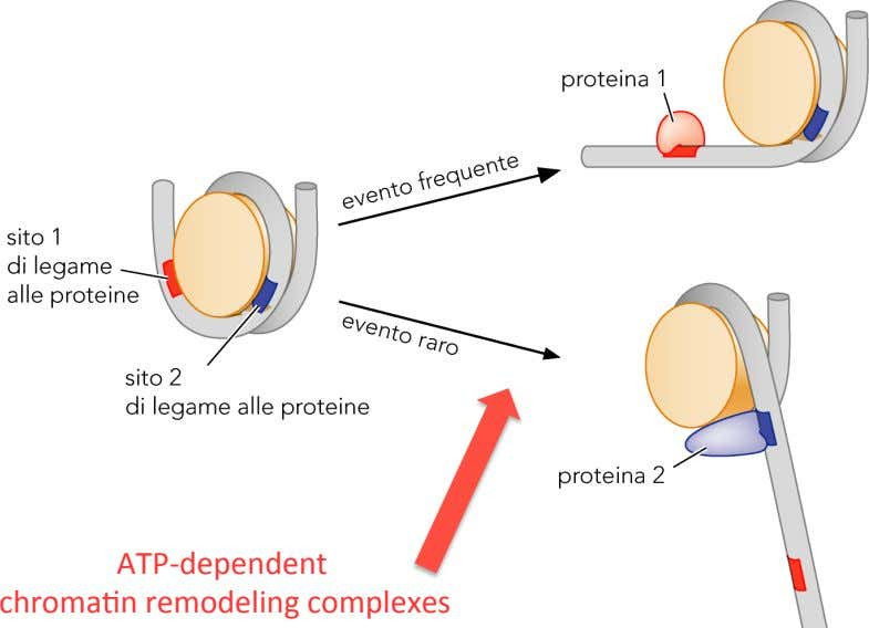 ATP;dependent ! chroma7n ! remodeling! complexes!