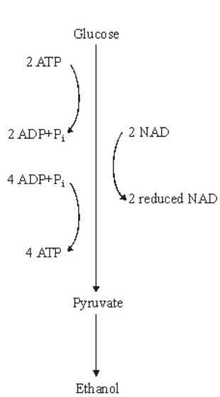 the process of anaerobic respiration in yeast cells. (a) (i) In anaerobic respiration, what is the