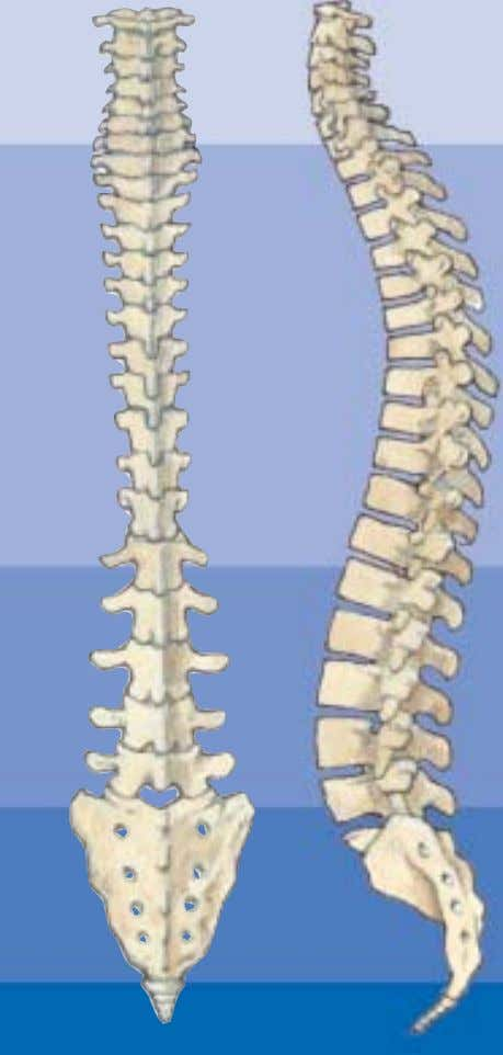 • Protect the spinal cord Cervical spine Thoracic spine 2 Lumbar spine Sacrum Coccyx Back and