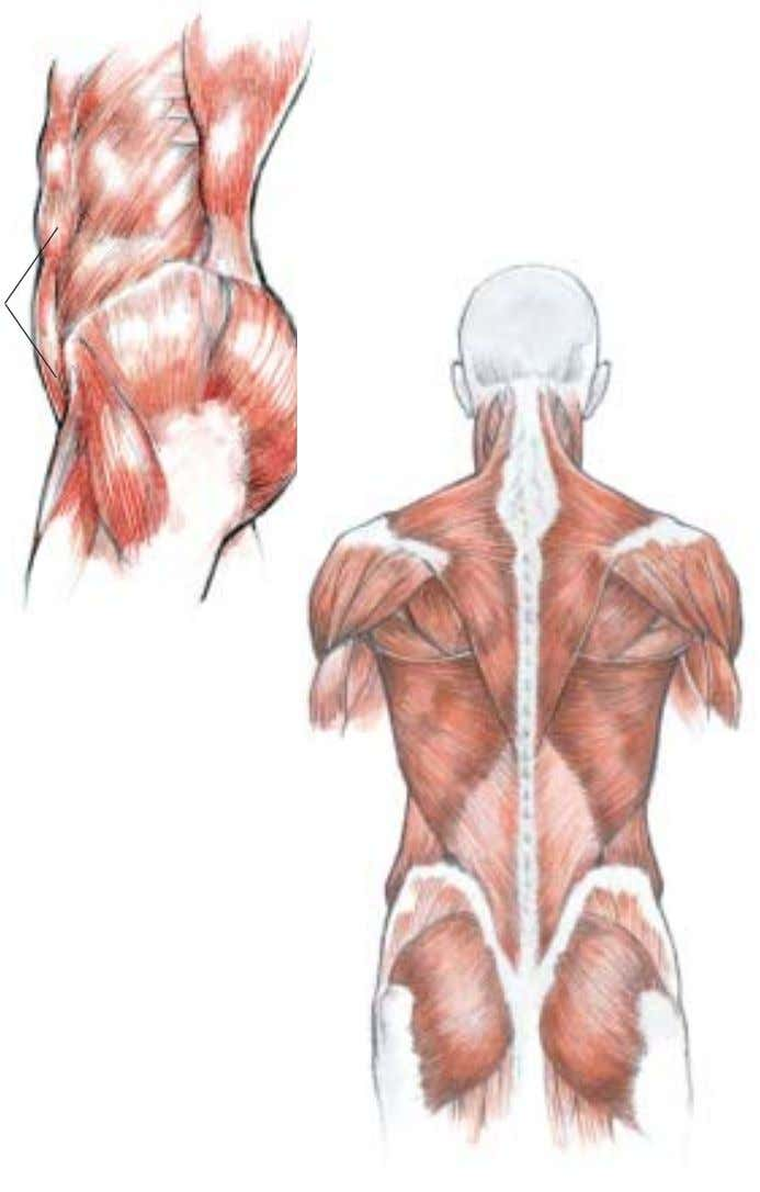 They too usually heal within six weeks to eight weeks. 4 Muscle systems of the back,