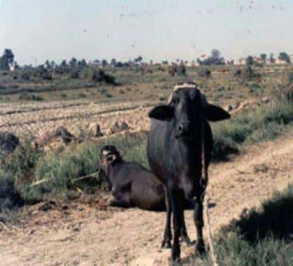 4.47 Asses Poultry Source: FAO Statistics, 2011. (a) Buffaloes are fed shrubs on a canal bank