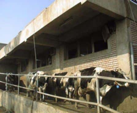 (b) High potential breed fed on high quality feed. (c) Milking parlour for mechanical milking of