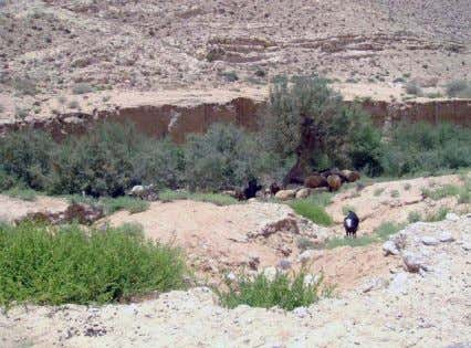 15a. A typical example of arid natural rangeland in Egypt Figure 15c. Shrubs and trees provide
