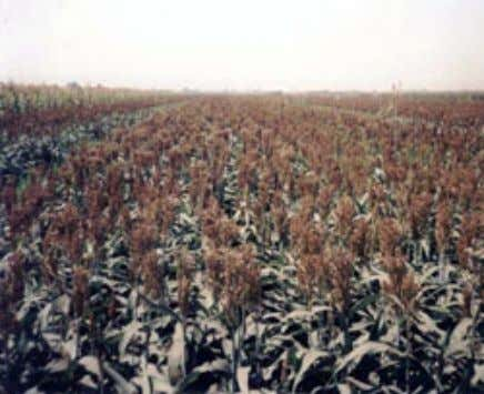 performance on desert and marginal land Figure 16b. Alfalfa Figure 17. Forage sorghum: Seed production Seed