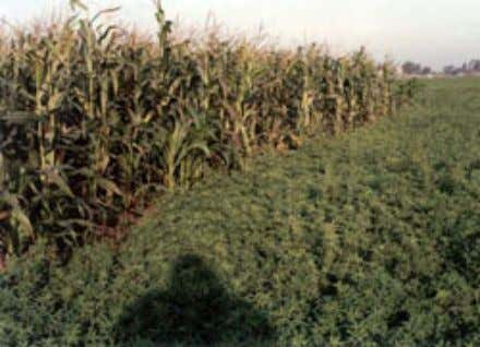(corn) for silage (a) Forage production Figure 22. Cowpeas Figure 20. Darawa (fodder maize) is planted