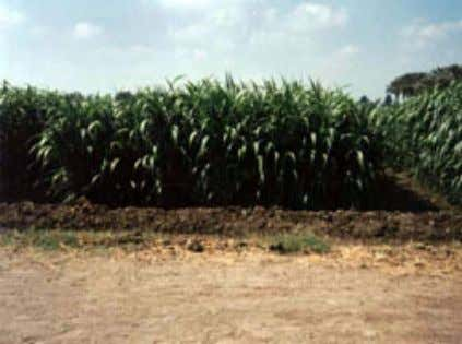 Country Pasture/Forage Resource Profile 2 9 Figure 19. Pearl millet for forage production (a) Maize silage