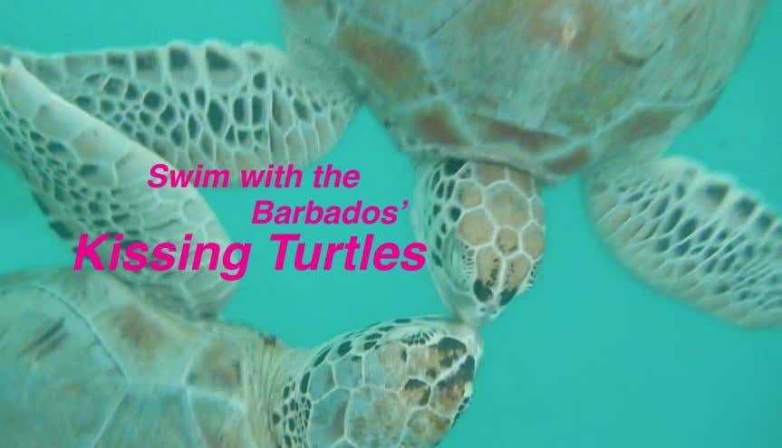 Swim with the Barbados' Kissing Turtles