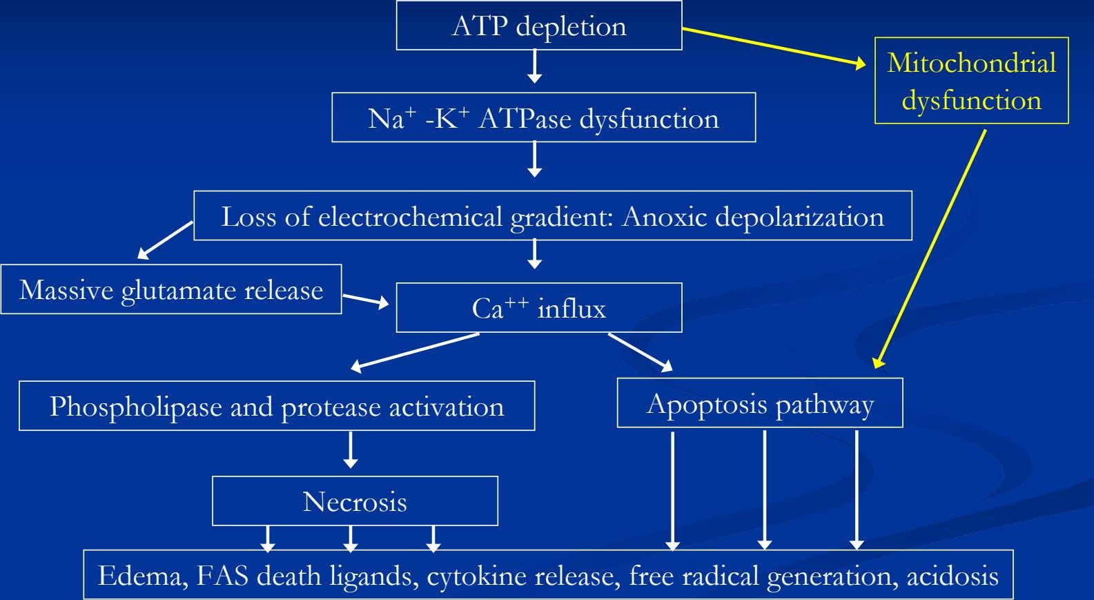 ATP depletion Mitochondrial dysfunction Na + -K + ATPase dysfunction Loss of electrochemical gradient: Anoxic