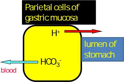 Parietal cells of gastric mucosa H + lumen of stomach HCO 3 - blood