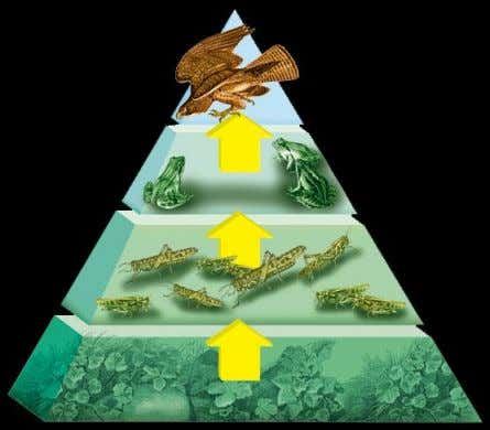 5.2 Energy Pyramid • The greatest amount of energy is found at the base of the