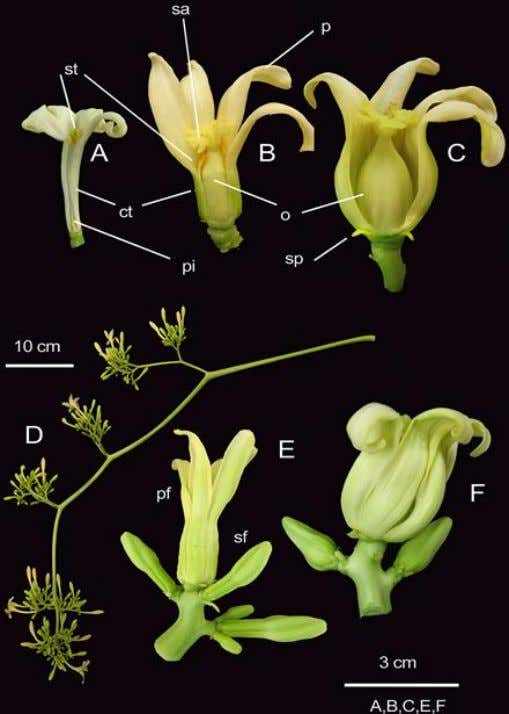 of papaya plants according to sex forms. (a) Female. (b) Hermaphroditic. (c) Male. (d) Male fruit-