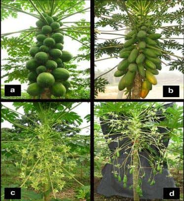 INVESTIGATION OF THE LEAVES OF CARICA PAPAYA LINN. 20 Fig. 1.2: Types of papaya plants according