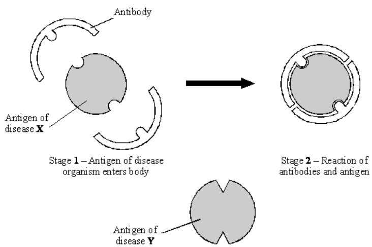the reaction of antibody and antigen for disease X. Using the diagram to help you, suggest