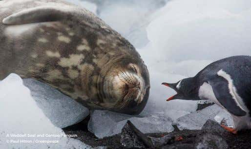 A Weddell Seal and Gentoo Penguin © Paul Hilton / Greenpeace