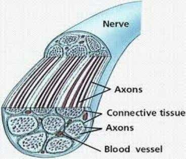 the level of anesthesia is different. Anatomy of the nerves: This is an axon bundle, and