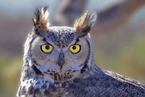 the Lens Your subjects are waiting By Hal Tretbar, M.D. Great Horned Owl, ISO 1000, 1/160,
