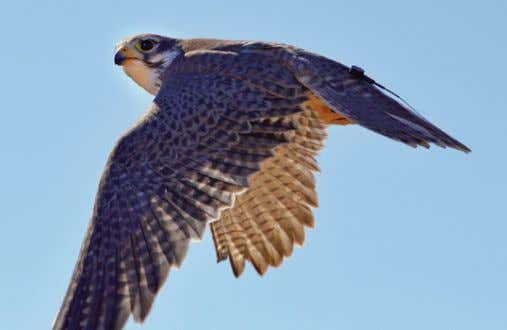 Prairie falcon, ISO 1000, 1/1600, f.13, 210mm Harris hawk, ISO 1600, 1/1250, f.13, 220mm Sidewinder
