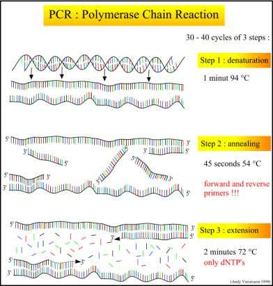 7/22/2011 • PCR (Polymerase Chain Reaction) SSCP ( Single-Strand Conformation Polymorphism ) – A técnica do