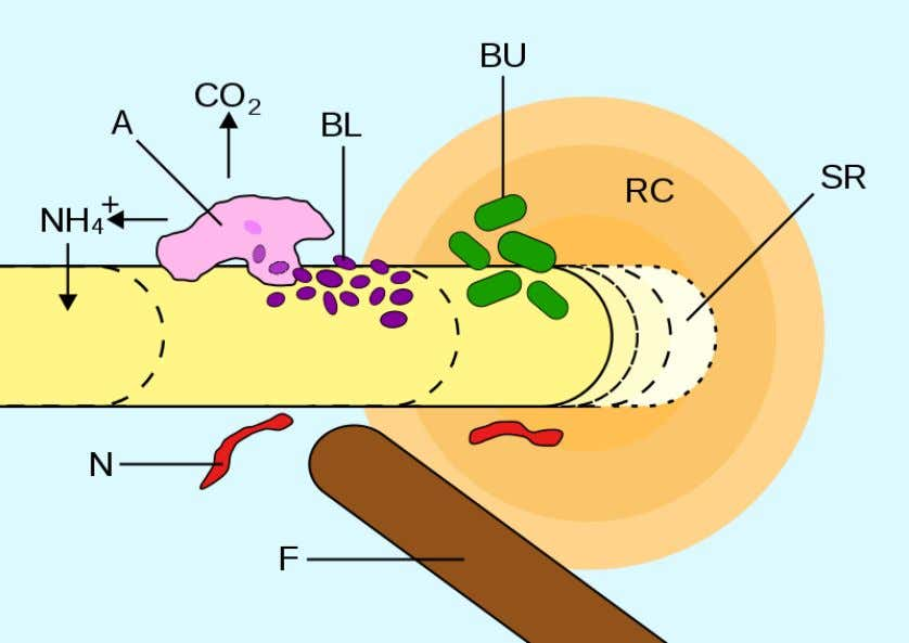 Biological activity in soil Root hair An illustration of soil biology. A= Amoeba consuming bacteria; BL=Energy