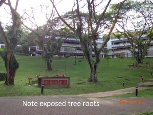 Note exposed tree roots