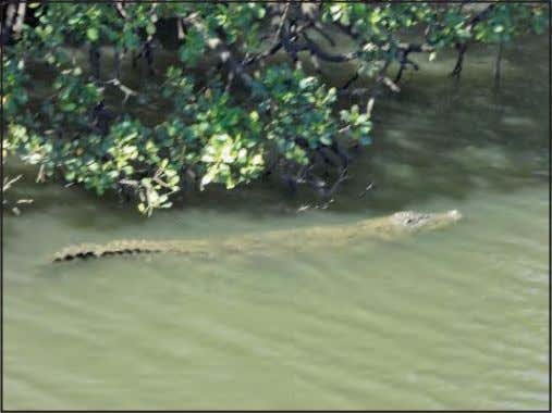 the flies ignore them, as they greatly prefer tourists. This eight-foot croc was in the estuary
