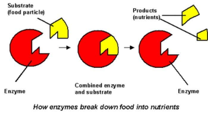 Enzymes allow chemical reactions to occur under tightly controlled conditions. • Enzymes are catalysts in living