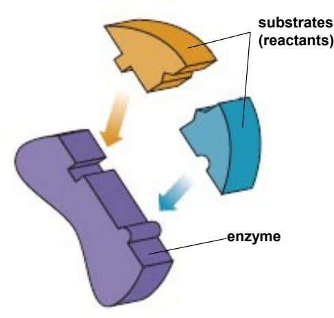 substrates (reactants) enzyme